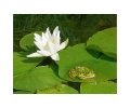 the frog's siesta