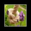 cheeky lavender